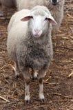 Moutons simples Image libre de droits