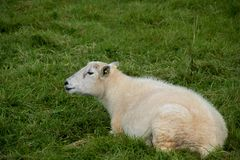 Moutons simples dans l'herbe verte Photos stock