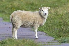 Moutons solitaires marchant le long d'un chemin en bois et d'une herbe courte de Shetla photographie stock