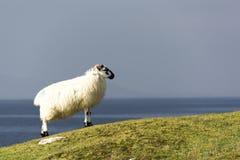 Moutons solitaires sur la mer de négligence de falaise dans la côte ouest de l'Irlande Photographie stock libre de droits