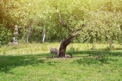 Moutons sous l'arbre caché du soleil chaud Images stock
