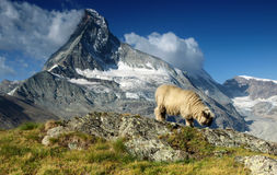 Moutons sous Matterhorn, Suisse photo libre de droits