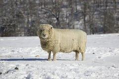Moutons Southdown de brebis de Babydoll anglais d'antan Photo stock
