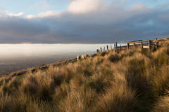 Moutons stupéfiant vers le haut de la colline à l'heure d'or, Nouvelle-Zélande photos stock