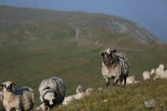 Moutons sur des crêtes de montagne Image stock