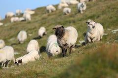 Moutons sur des crêtes de montagne Image libre de droits