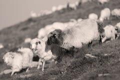 Moutons sur des crêtes de montagne Photo stock
