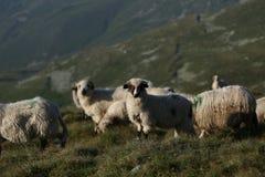 Moutons sur des crêtes de montagne Photos libres de droits