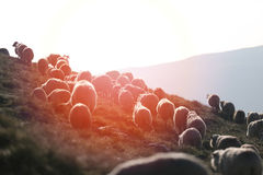 Moutons sur des crêtes de montagne Photo libre de droits