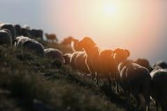 Moutons sur des crêtes de montagne au coucher du soleil Photo libre de droits