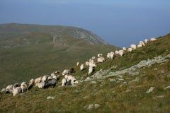 Moutons sur des crêtes de montagne, paysage d'horizon Images stock