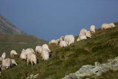 Moutons sur des crêtes de montagne, paysage d'horizon Images libres de droits