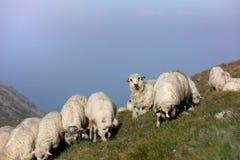 Moutons sur des crêtes de montagne, paysage d'horizon Photos libres de droits