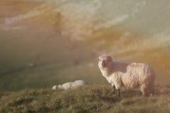 Moutons sur des crêtes de montagne, plein portrait Photographie stock libre de droits