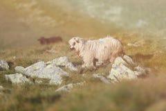 Moutons sur des crêtes de montagne, plein portrait Photos libres de droits