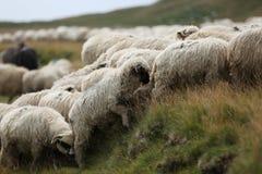 Moutons sur des crêtes de montagne, plein portrait Photo libre de droits