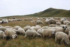 Moutons sur des crêtes de montagne, plein portrait Photographie stock