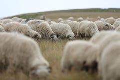 Moutons sur des crêtes de montagne, plein portrait Photos stock