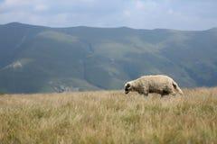 Moutons sur des crêtes de montagne, plein portrait Images stock