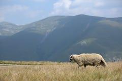 Moutons sur des crêtes de montagne, plein portrait Images libres de droits