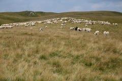 Moutons sur des crêtes de montagne, plein portrait Image stock