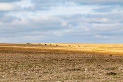 Moutons sur des terres cultivables du Sussex photographie stock