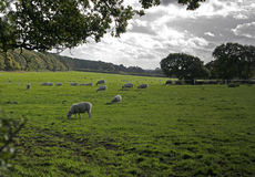 Moutons sur des terres cultivables, Wirral, Angleterre. Image stock