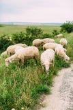 Moutons sur l'herbe Photographie stock