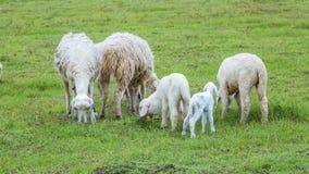 Moutons sur l'herbe Photo libre de droits