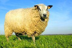 Moutons sur l'herbe avec le ciel bleu image libre de droits