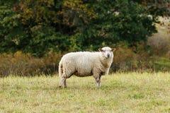 Moutons sur l'herbe avec le fond d'automne Image stock