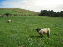 Moutons sur l'herbe en Irlande Photo libre de droits