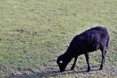 Moutons sur l'herbe en parc public un jour ensoleillé photos libres de droits