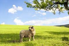 Moutons sur l'herbe verte Photo libre de droits