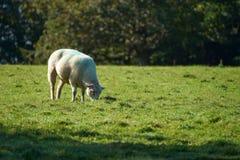 Moutons sur l'herbe verte Photos stock