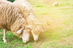 Moutons sur l'herbe verte et la belle nature Photo stock