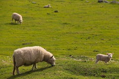 Moutons sur l'horizon Photographie stock