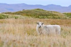 Moutons sur l'Islande Photographie stock libre de droits