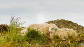 Moutons sur la colline de roche Images libres de droits