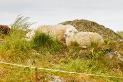Moutons sur la colline de roche Images stock