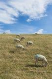 Moutons sur la digue Photo stock
