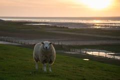 Moutons sur la digue gardant la l$mer des Wadden Photo libre de droits