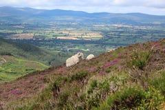 Moutons sur la montagne Image libre de droits