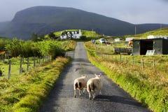 Moutons sur la route, île de Skye, Ecosse Photographie stock libre de droits