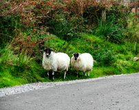 Moutons sur la route Photo stock