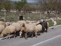 Moutons sur la route Photo libre de droits