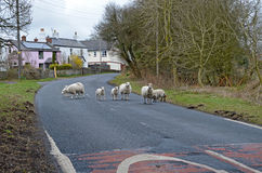 Moutons sur la route Photos libres de droits