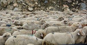 Moutons sur la route de montagne dans l'Inde du nord Photographie stock libre de droits