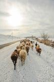 Moutons sur la route Images stock