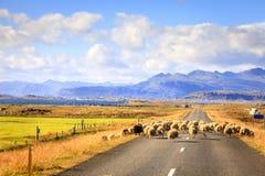 Moutons sur la route en Islande Image libre de droits